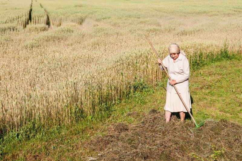 La mujer está rastrillando un heno con un rastrillo en el campo imagenes de archivo