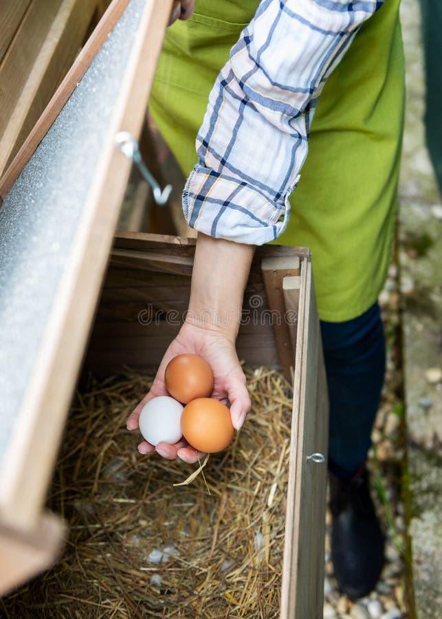 La mujer irreconocible que recoge la gama libre eggs de casa de pollo Ponedoras de huevo y granjero de sexo femenino joven Consum imágenes de archivo libres de regalías