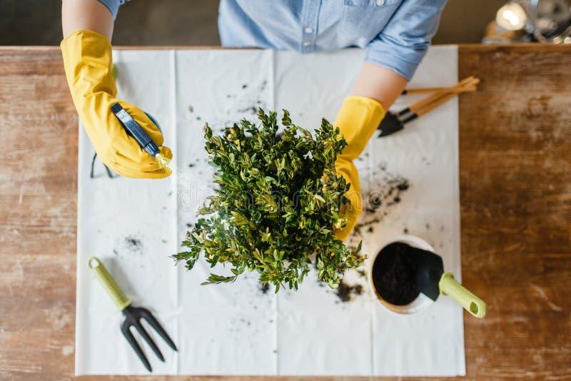 La mujer joven en guantes rocía las plantas caseras, visión superior imagen de archivo libre de regalías