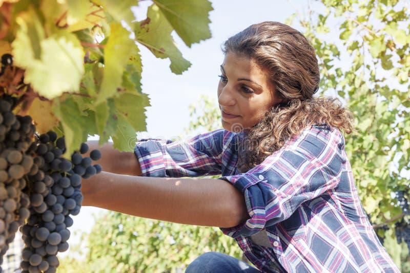 La mujer joven escoge las uvas en un viñedo imagen de archivo libre de regalías