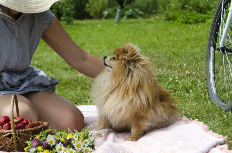 La mujer joven está frotando ligeramente un perro de Pomerania pomeranian alemán anaranjado imagen de archivo