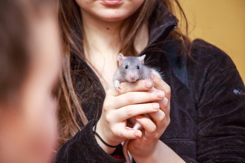 La mujer joven hermosa sostiene la rata en sus manos fotografía de archivo