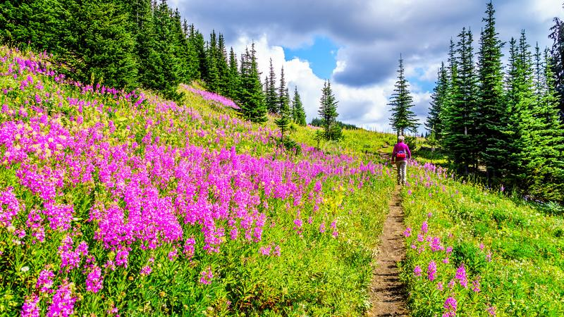 La mujer mayor en una pista de senderismo en los prados alpinos cubiertos en laurel de San Antonio rosado florece fotos de archivo libres de regalías