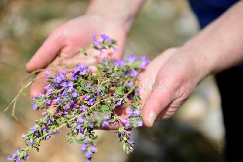 La mujer recoge el timo de la planta, recolectando las hierbas medicinales imagenes de archivo