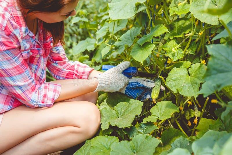 La mujer recolecta los pepinos en un invernadero fotografía de archivo