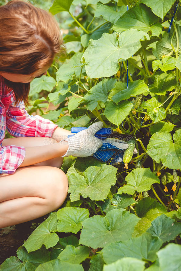 La mujer recolecta los pepinos en un invernadero foto de archivo libre de regalías