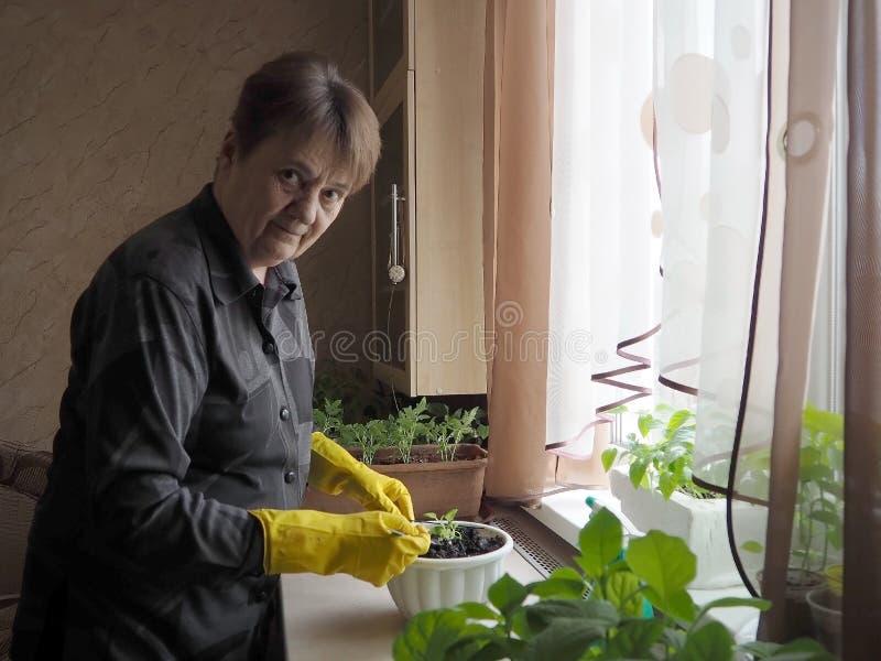 La mujer trasplanta las plantas en conserva fotos de archivo