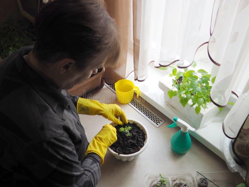 La mujer trasplanta las plantas en conserva imagen de archivo libre de regalías