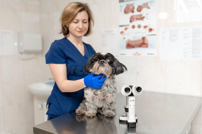 La mujer veterinaria del oftalmólogo hace un procedimiento médico, examina los ojos de un perro con un ojo herido Na imagen de archivo libre de regalías