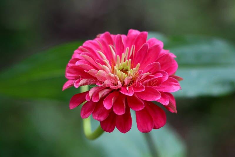 La multi zinnia stratificata stupefacente fiorisce con la fioritura completamente aperta ha messo a strati i petali rosa con il c immagine stock