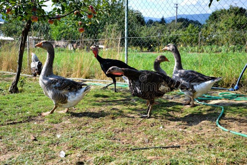 La multitud de pavos y los gansos alimentan en el corral rural La familia nacional del ganso pasta en corral tradicional del pueb fotografía de archivo libre de regalías