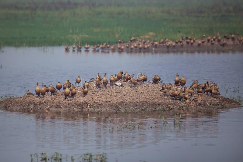 La multitud de poco silbar ducks en el parque nacional de Keoladeo Ghana, imagen de archivo libre de regalías