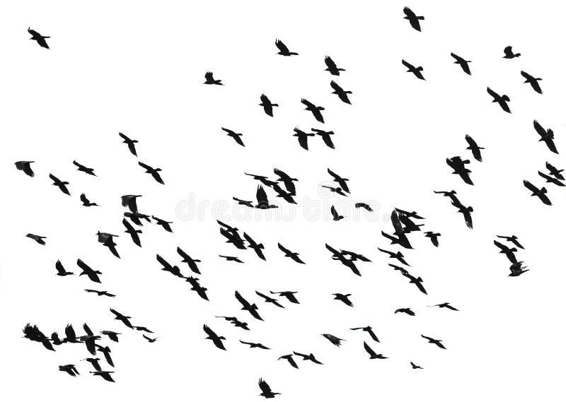 La multitud grande de pájaros negros canta vuelo en un CCB blanco aislado imagen de archivo