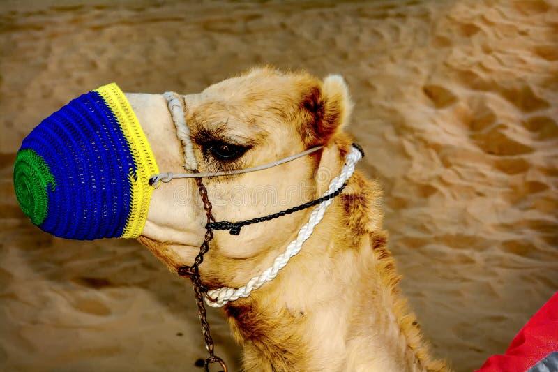 La museruola del primo piano del cammello fotografie stock libere da diritti