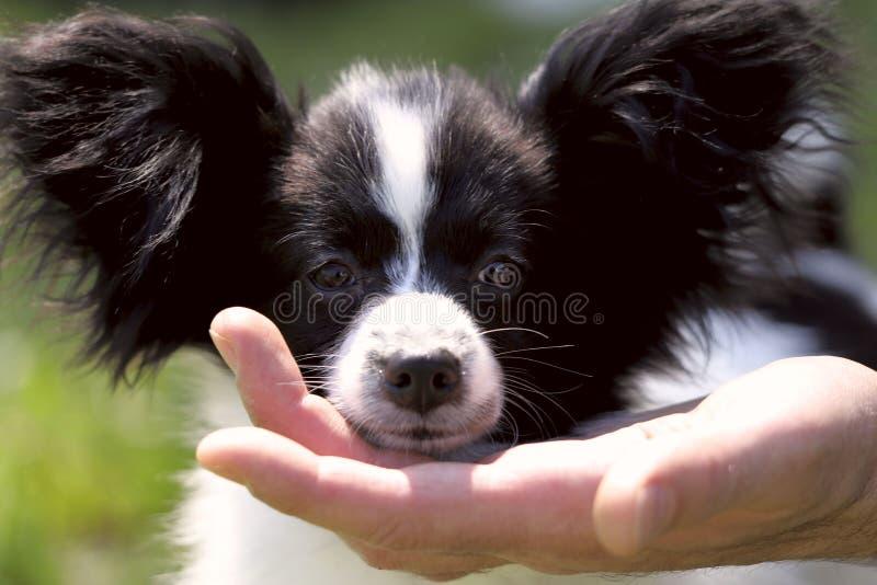 La museruola di piccolo cucciolo Papillon sulla palma di un uomo Foto della via fotografie stock libere da diritti