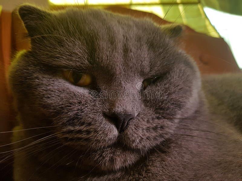 La museruola di un gatto grigio con grande giallo osserva il ritratto del popolare dello Scottish del primo piano un gatto arrabb fotografie stock