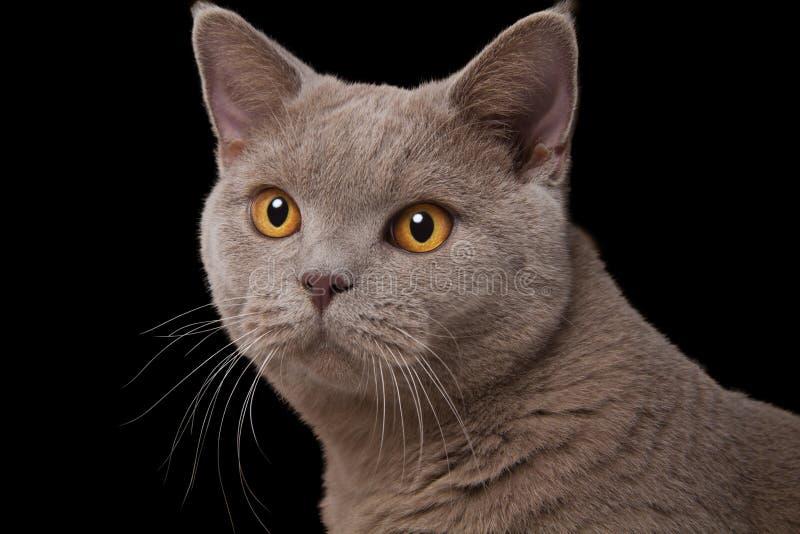 La museruola grigia del gatto britannico con giallo osserva il primo piano su un fondo nero fotografie stock libere da diritti
