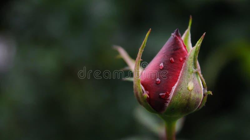 La naissance du capot fleurissant rouge photographie stock libre de droits
