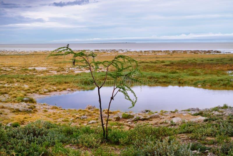 La Namibia, Africa, savana ad alba fotografie stock libere da diritti