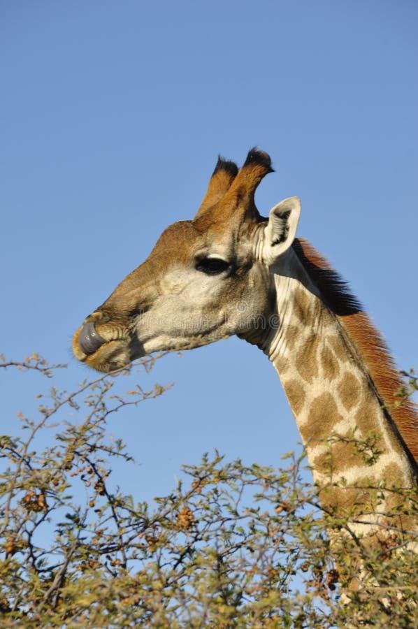 La Namibia: Girafs al campo di Namutomi in Etosha fotografia stock libera da diritti