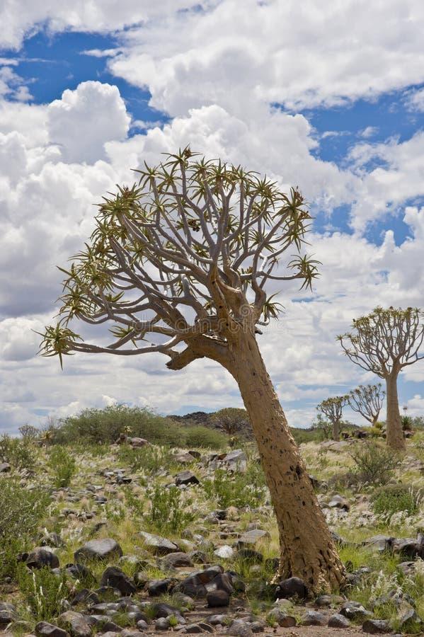 La Namibie, arbre de tremblement, Keetmanshoop, Namibie du sud image stock
