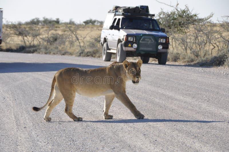 La Namibie : La lionne marche au-dessus de la route de gravier dans Etosha Natio photo libre de droits