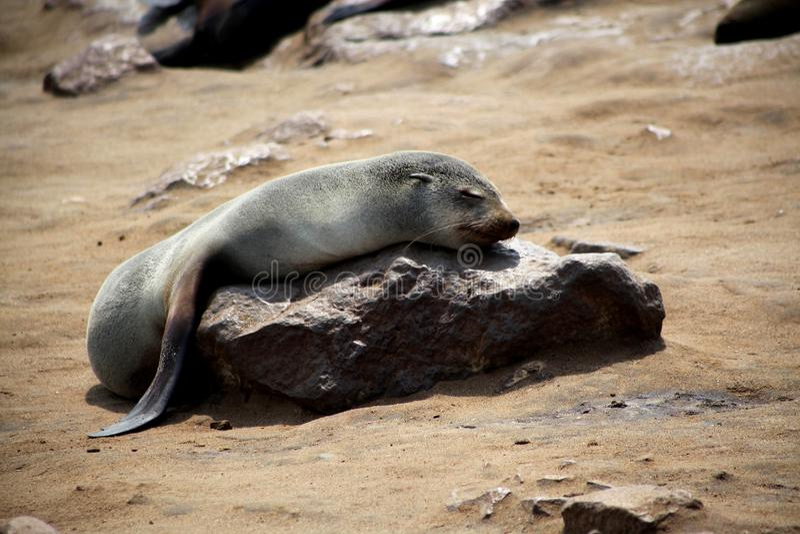 La Namibie, réservation croisée de phoque de cap, image stock
