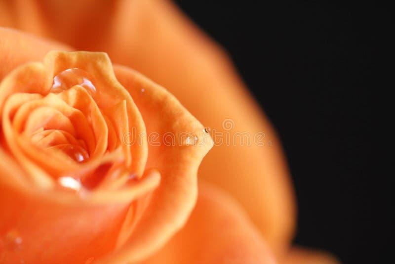 La naranja se levantó fotos de archivo