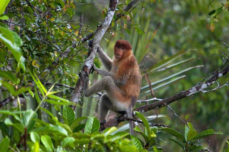 La nasica o il larvatus del Nasalis o la scimmia dal naso lungo, Indonesia immagini stock