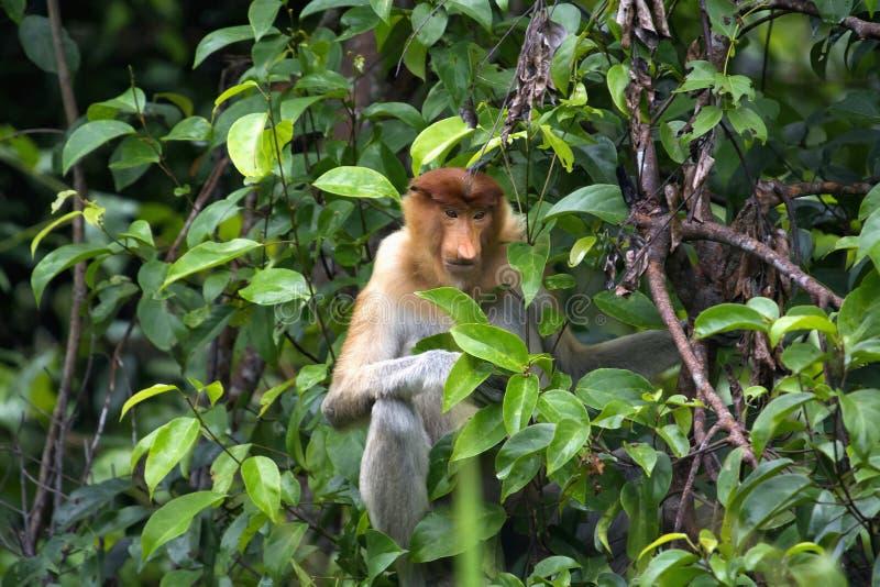La nasica o il larvatus del Nasalis o la scimmia dal naso lungo, Indonesia fotografia stock
