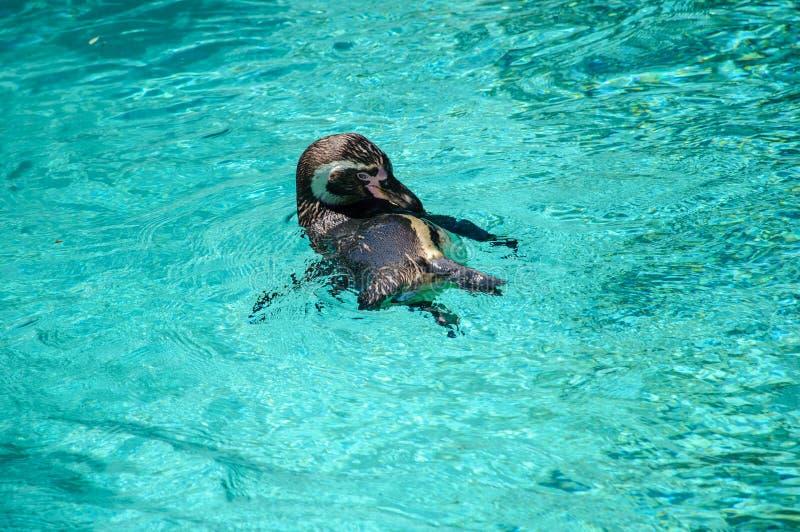 La natación del pingüino de Humboldt en el agua imagen de archivo libre de regalías