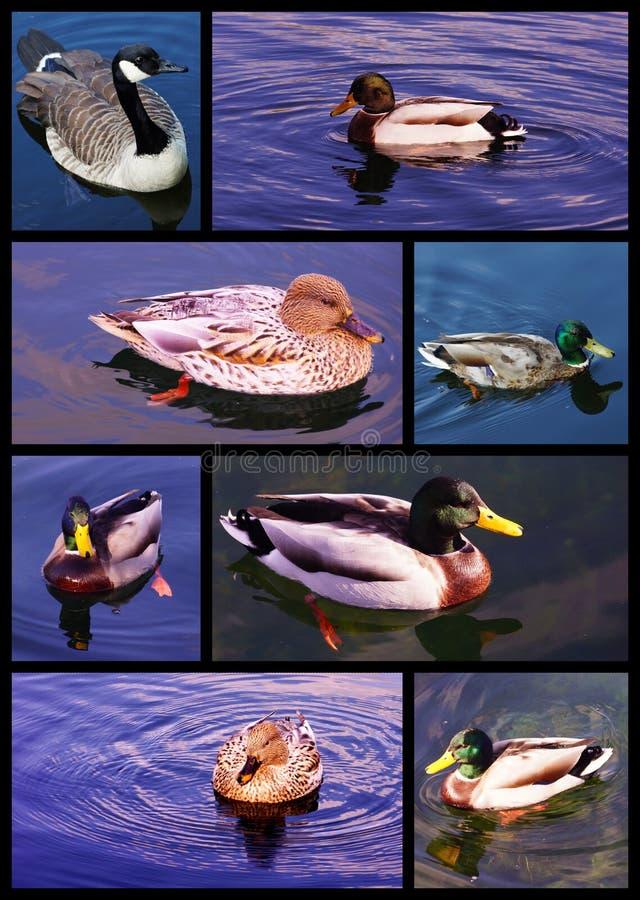 La natación Ducks la colección fotos de archivo libres de regalías