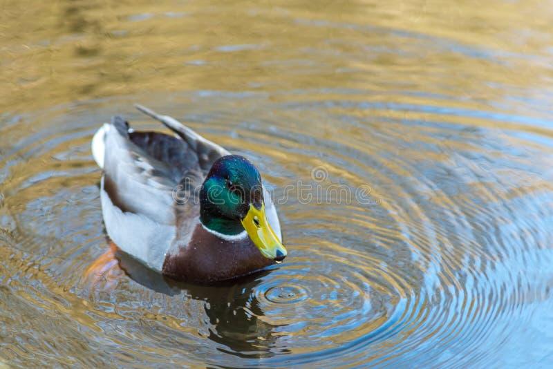La natación y la bebida jovenes agradables del pato del pato silvestre riegan, primavera temprana fotografía de archivo libre de regalías