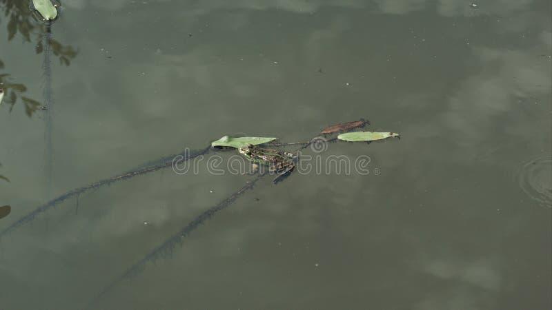 La natation de grenouille dans un étang vert un jour ensoleillé, réflexion dans l'eau du ciel opacifie photos stock