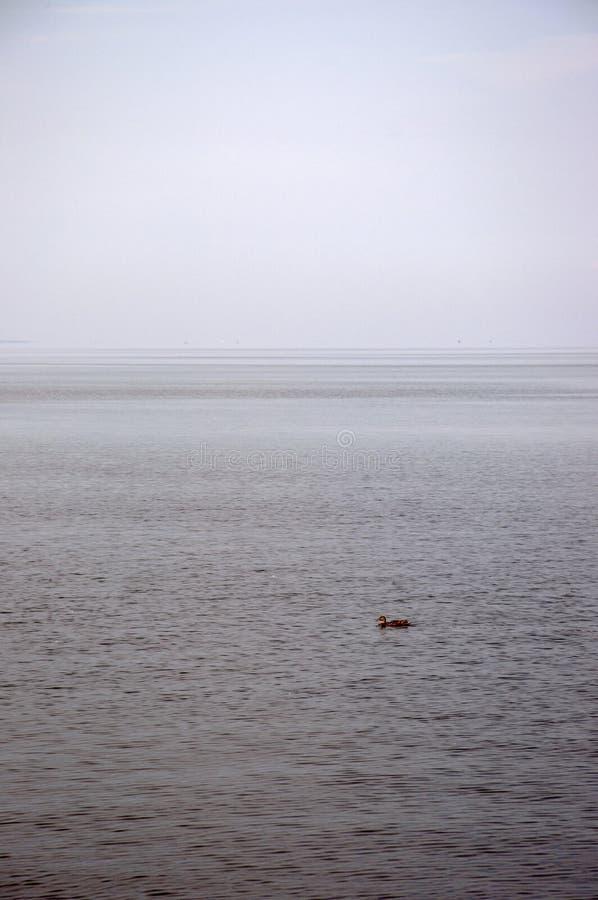 La natation simple de canard sur le lac et l'eau et le ciel se mélangent ensemble à l'horizon photo libre de droits