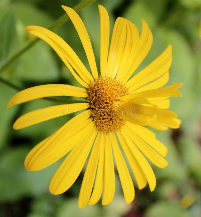 La naturaleza amarilla de la margarita florece al aficionado verde macro imagen de archivo
