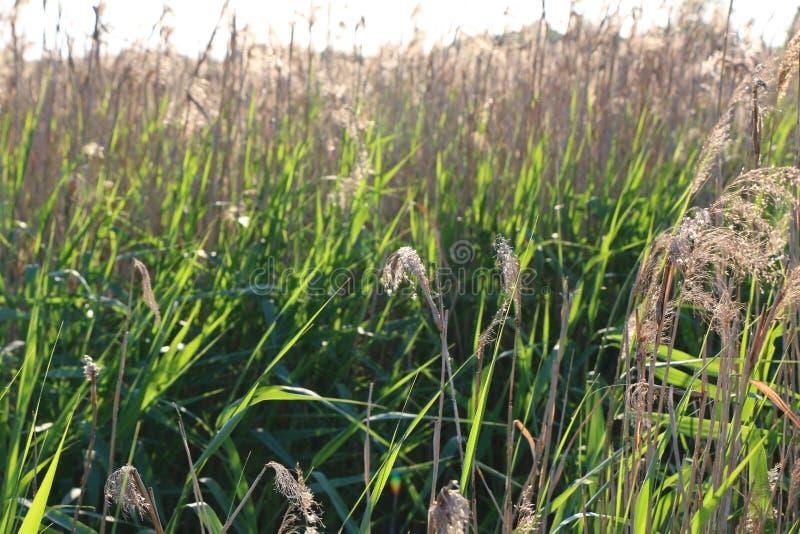 La naturaleza sale de las cañas del verde vivo del día soleado fotografía de archivo