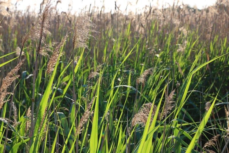 La naturaleza sale de las cañas del verde vivo del día soleado imagenes de archivo