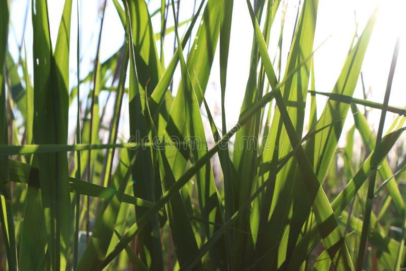La naturaleza sale de las cañas del verde vivo del día soleado fotos de archivo libres de regalías