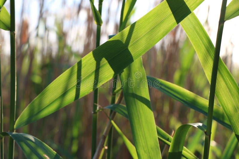 La naturaleza sale de las cañas del verde vivo del día soleado foto de archivo libre de regalías