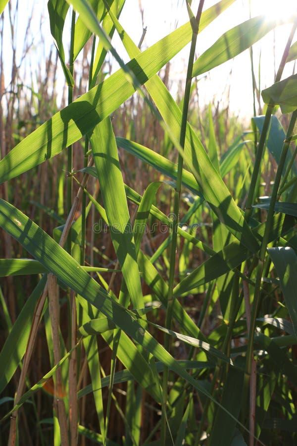 La naturaleza sale de las cañas del verde vivo del día soleado fotografía de archivo libre de regalías