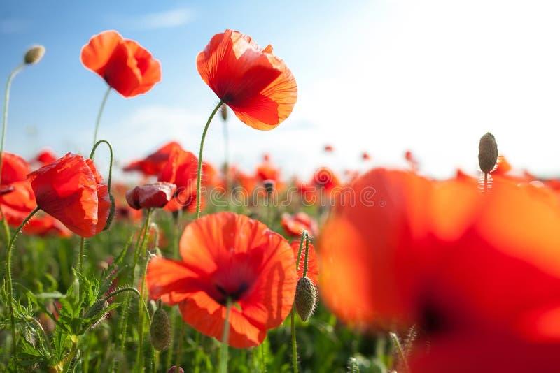 La nature, ressort, fleurissant fleurit le concept - plan rapproché sur les pavots fleurissants dans le domaine, une journée de p photos libres de droits