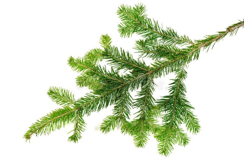 La Navidad evengreen la rama de árbol de pino fotos de archivo