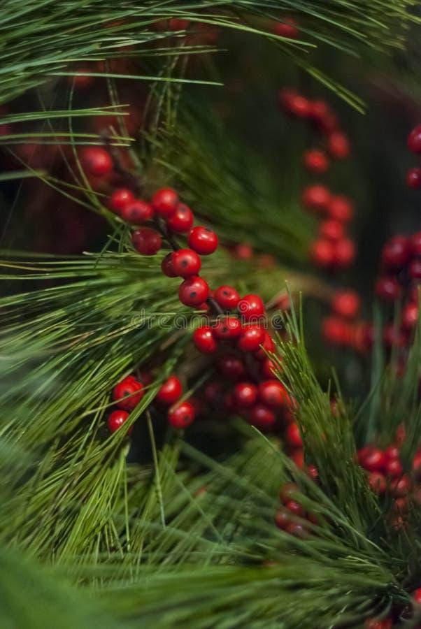 La Navidad ramifica con las bayas rojas rodeadas con el pino fotografía de archivo