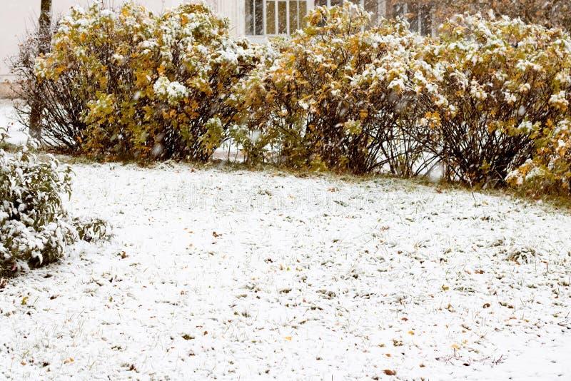 La neige a couvert la clairière de buissons jaunes, automne photographie stock libre de droits