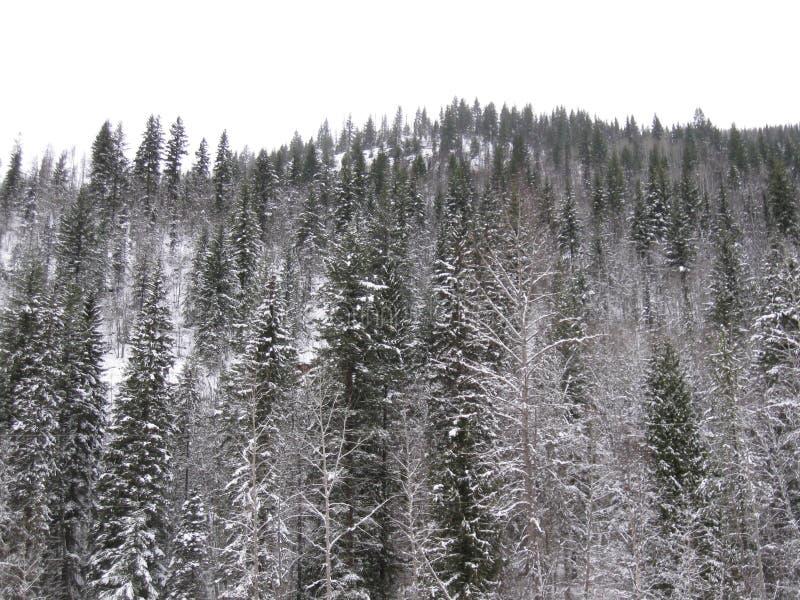 La neige a couvert des arbres photographie stock