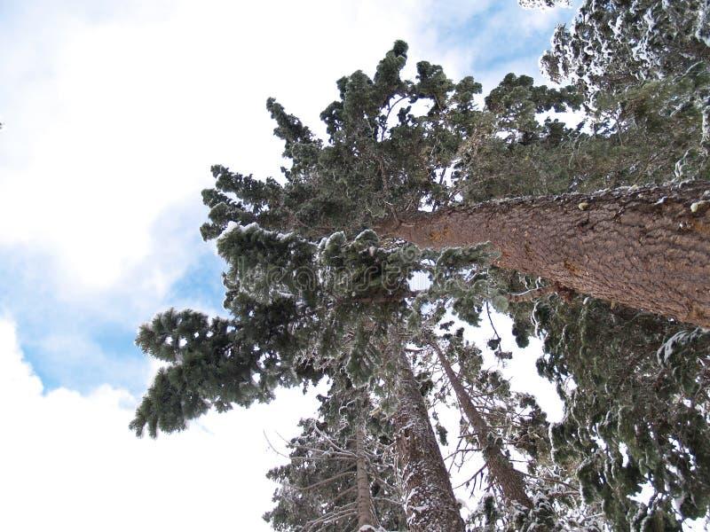 La neige a couvert des arbres photo stock