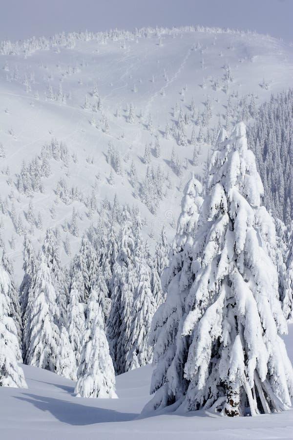 La neige a couvert des arbres de pin en montagnes image stock