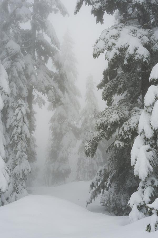 La neige a couvert des arbres le long de la traînée snowshoeing sur la montagne de Cypress photos libres de droits