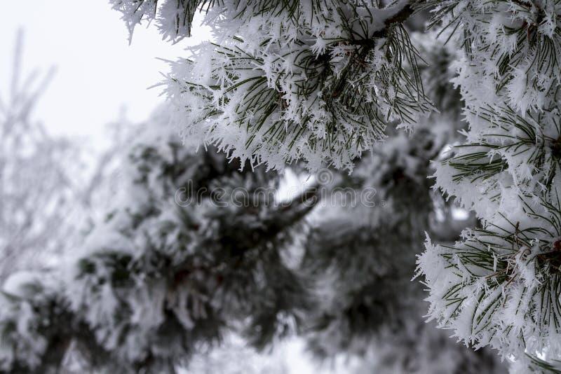 La neige a couvert des branches d'arbre de sapin dans l'hiver photo libre de droits